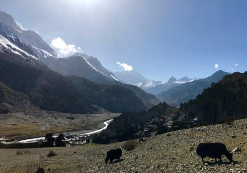 Bhraga, Tilicho Peak, Gangapurna Peak and yaks