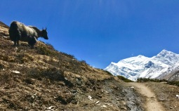Yak looking out over the Annapurnas